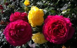 Разведение роз черенками в домашних условиях