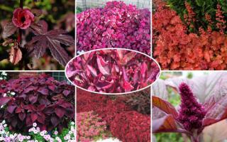 Домашний цветок с красными листьями
