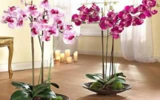 Как поливать фаленопсис во время цветения