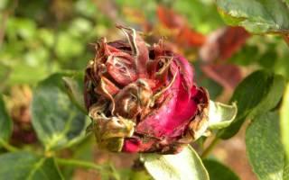 Розы болезни и лечение