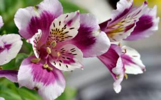 Цветок альстромерия