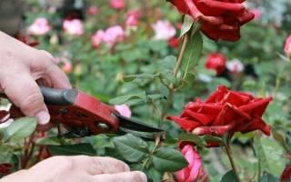 Как ухаживать за розами на улице