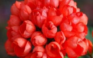 Пеларгония red pandora