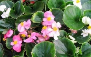 Размножение бегонии вечноцветущей черенками