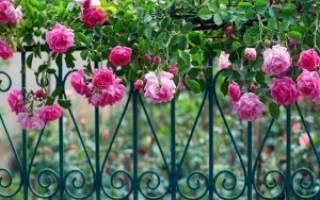 Лучшие сорта плетистых роз