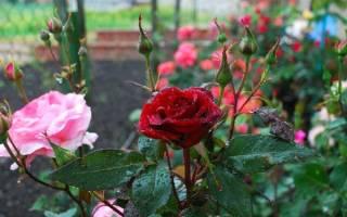У розы чернеют листья что делать