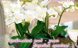 Как восстановить тургор листьев у орхидеи фаленопсис