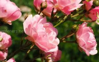 Роза рамблер что это такое