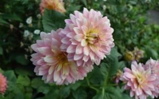 Красивые букеты из хризантем