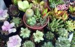 Как посадить кактус из отростка
