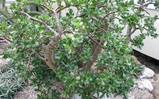 Уход за денежным деревом опадают листья