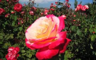Роза дезире чайно гибридная