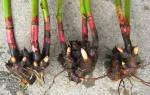Как посадить пионы осенью