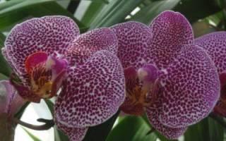 У орхидеи гниют корни что делать