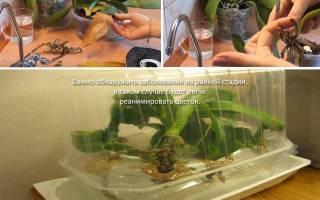 Как оживить орхидею без листьев