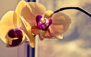 У орхидеи вянут листья