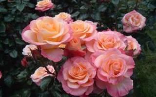 Посадка и уход за розами