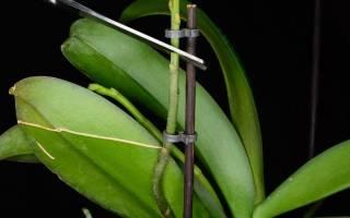 Орхидея отцвела что делать с цветоносом