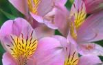 Цветок астельмерия
