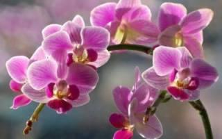 Желтые листья у орхидеи