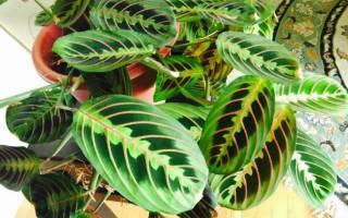 Пестролистные комнатные растения