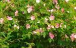 Как укоренить черенки розы в домашних условиях
