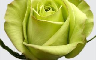 Зеленые розы сорта