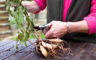 Можно ли не выкапывать георгины на зиму