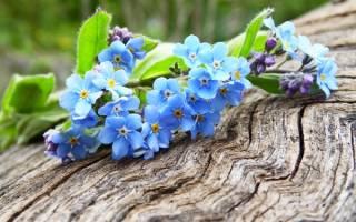 Растение с голубыми цветами