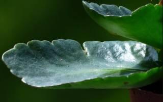 Как выглядит цветок каланхоэ