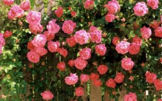 Посадка и уход за плетистыми розами