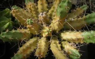Почему кактус желтеет
