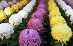 Хризантема значение цветка