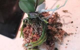 Почему не цветет орхидея после пересадки