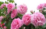 Цвет чайной розы это какой