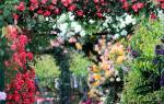 Схема посадки роз в розарии