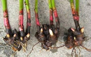 Чем подкормить пионы осенью