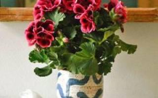 Почему пеларгония не цветет