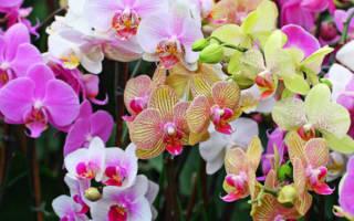 Как размножить орхидею фаленопсис