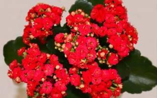 Каланхоэ после цветения