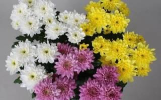 Хризантема карликовая