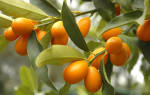 Кумкват выращивание из косточки в домашних условиях