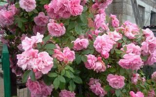Чем опрыскивать розы от болезней