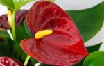 Комнатный цветок для мужчины
