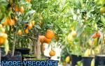 Как выращивать мандарин в домашних условиях