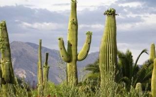 Самый большой кактус