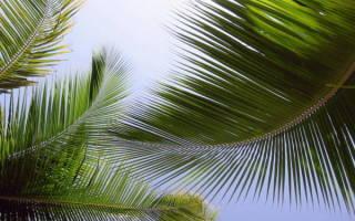 Виды домашних пальм