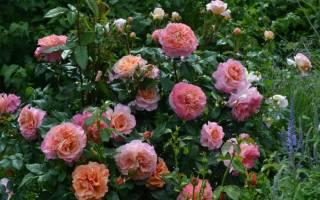 Augusta luise роза