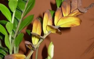 Замиокулькас желтеет причины