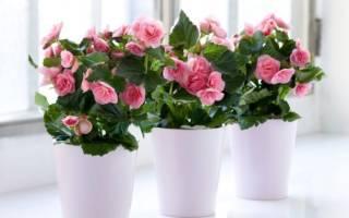 Комнатные цветы бегония уход размножение
